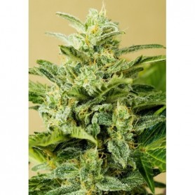 Auto Low Girl (3 semillas) Advanced Seeds