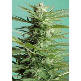 Auto Sweet Dwarf (3 semillas) Advanced Seeds