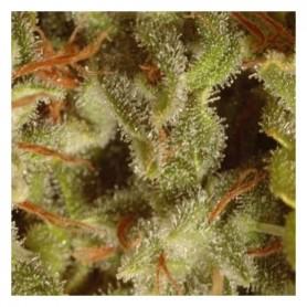 Edición pack colección Sativa Paradise Seeds