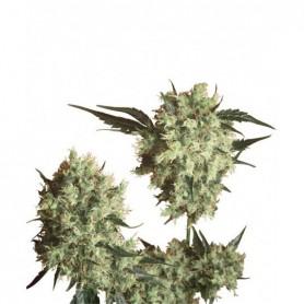 Marley's Collie (10 semillas)
