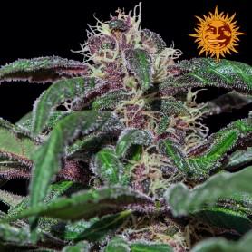 Ayahuasca Purple