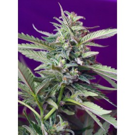 S.A.D. Sweet Afgani Delicious Auto