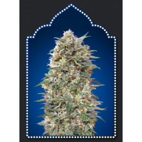 California Kush (5 semillas)