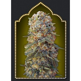 Sweet Critical (5 semillas)