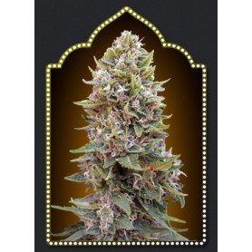 Auto Cheese Berry (5 semillas)