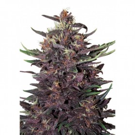 Purple Kush  (10 semillas divisible) fem.