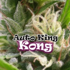 Auto King Kong (2 semillas)
