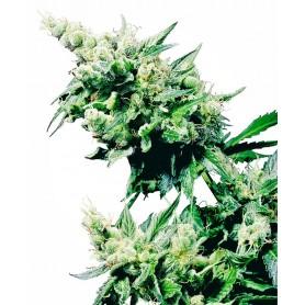 Hash Plant (10 semillas)