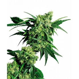 Mr. Nice G13 X Hashplant (10 semillas)