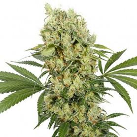 Medikit CBD (10 semillas divisible) fem.
