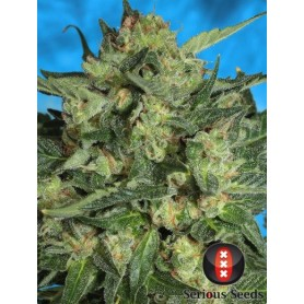 White Russian automática (6 semillas) Serious Seeds