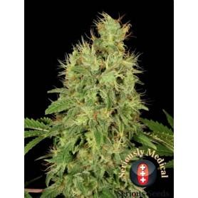 Chronic CBD (6 semillas)
