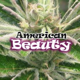 American Beaty