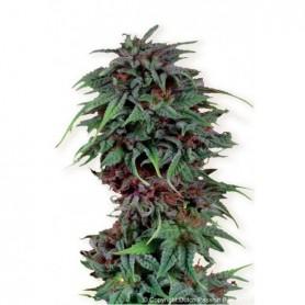 Durban Poison (3 semillas)