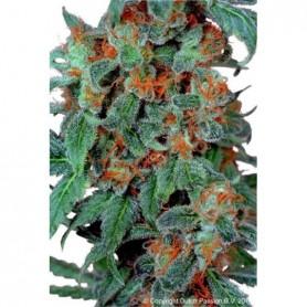 Orange Bud (3 semillas)