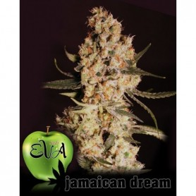 Jamaican Dream (3 semillas)